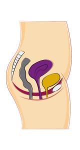 איור של איברי בטן פנימיים באישה שמוחזקים על ידי שרירי רצפת אגן
